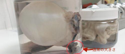 猫 卵巣嚢腫 卵巣 写真